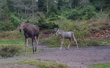 Moosepark i Isaberg